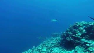 ヤップ島ツアー サメ ヤップ島 検索動画 26