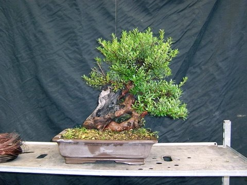 syzygium-small-leaves-shohin-bonsai