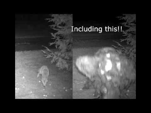 Pic of bigfoot on trail cam