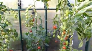 Tomaten ausgeizen, pflegen, Seitentriebe ausbrechen.