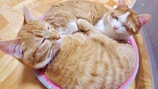 子猫が2匹でギュウギュウの猫鍋してた thumbnail