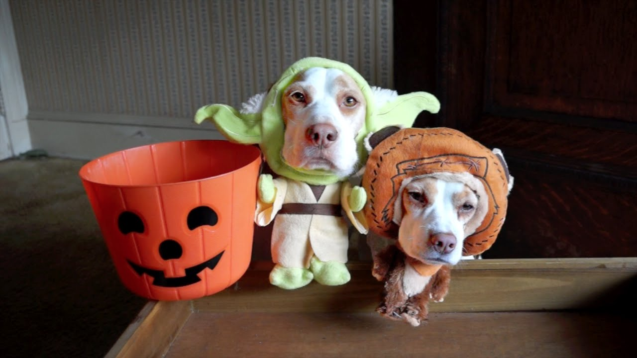 Dogs in Costumes Go Trick-or-Treating on Halloween Cute Dogs Maymo u0026 Penny - YouTube & Dogs in Costumes Go Trick-or-Treating on Halloween: Cute Dogs Maymo ...