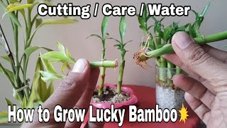 how to Grow Lucky Bamboo in water, Lucky Bamboo care