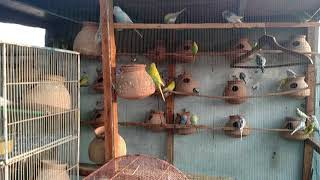 SUNLIGHT BENEFITS IN WINTER FOR BUDGIES