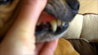 How To Spot Tooth Decay & Gum Disease In Your Dog