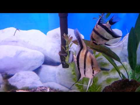 More Angelfish Wigglers 48 Hours