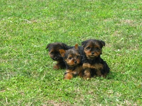 Yorkshire Terrier, Yorkie, Puppies For Sale, In Fresno, California, CA,  19Breeders, Santa Ana
