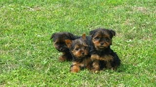 Yorkshire Terrier, Puppies, For, Sale, In, Los Angeles, California, Ca, Visalia, Thousand Oaks, East