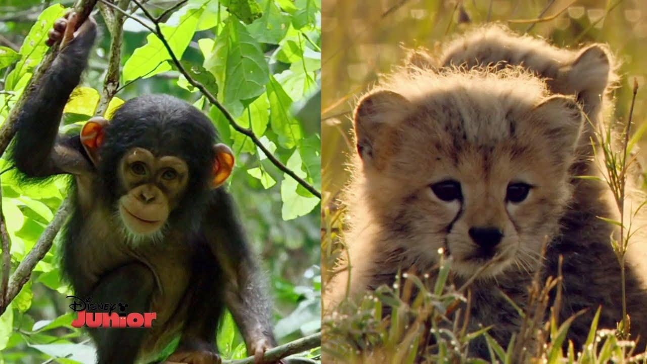 C Est Bungallucinant Le B 233 B 233 Chimpanz 233 Amp Le B 233 B 233