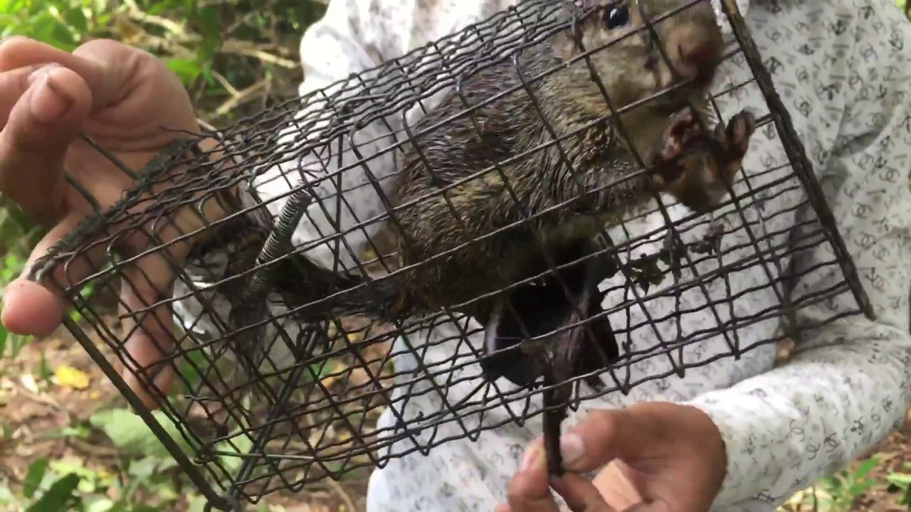 how to trap squirrels in the wild