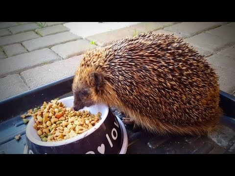 Funny Hedgehogs🦔🦔Spiky and Funny Hedgehogs (Part 2) [Funny Pets]