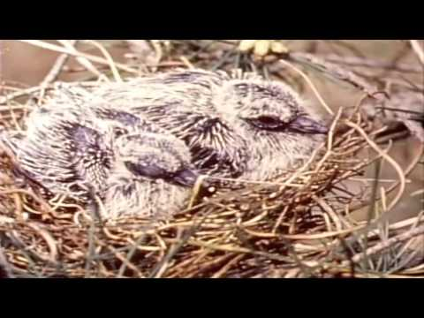 The Story of The Mourning Dove (1959)