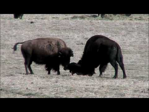 Birth of a Bison Calf