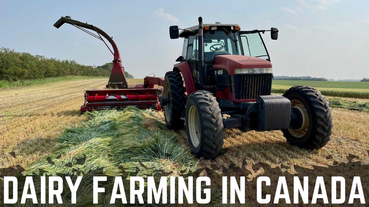 Chopping Barley Silage / Day 1