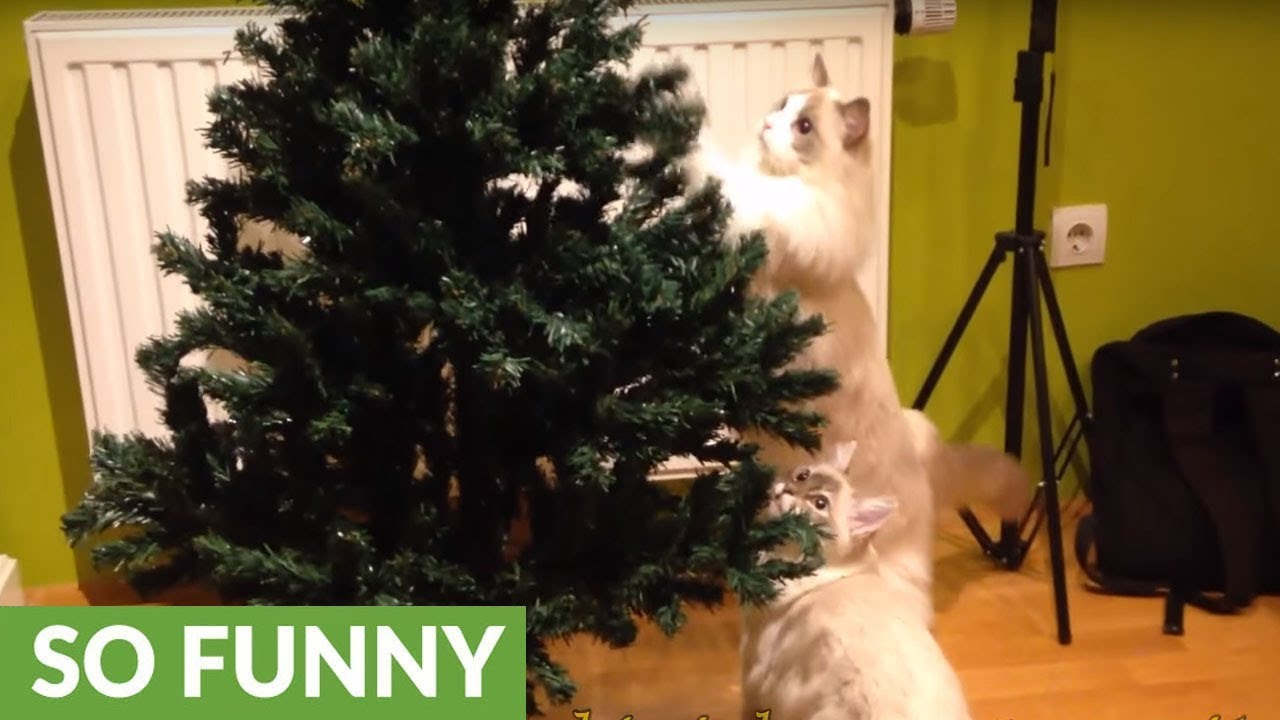 Cat Proof Christmas Tree.Home Goes To Great Lengths To Cat Proof Christmas Tree