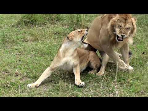 любовь у львов.
