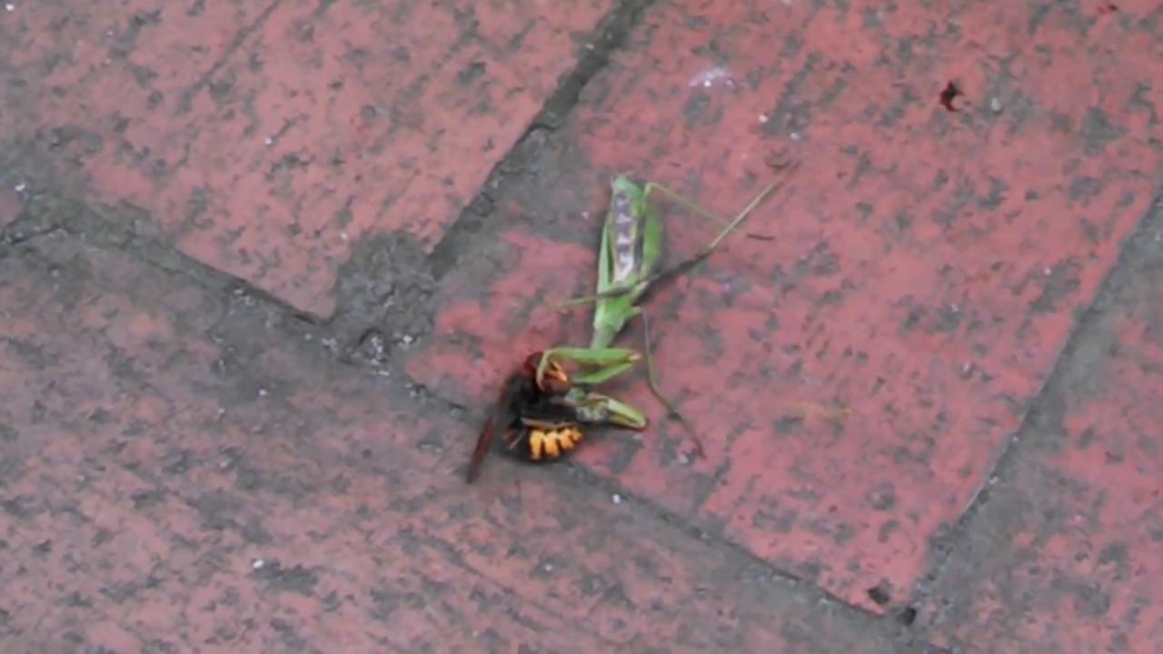 Hornet Vs Praying Mantis PRAYING MANTIS ...