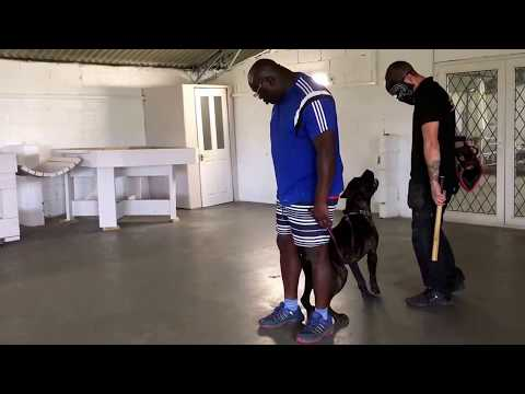 12 Month Old Cane Corso Tactical Protection The Foundation Training. DDR Guard Dogs