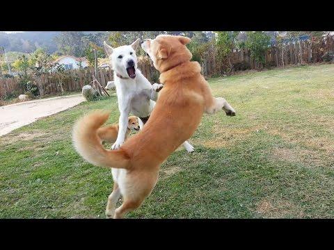 [27] 진돗개 금동이 부부의 유쾌한 행복영상 / Korea Jindo Dog family 's a pleasant time