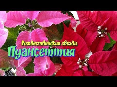 Пуансеттия.Рождественская звезда.Красиво цветущие комнатные цветы