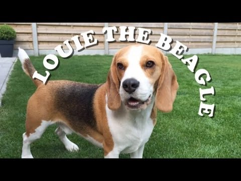 BEAGLE PLAYS FETCH....DOES NOT BRING IT BACK LOL