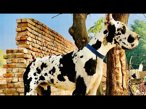 Shaandar Harleyquin Great Dane Puppies
