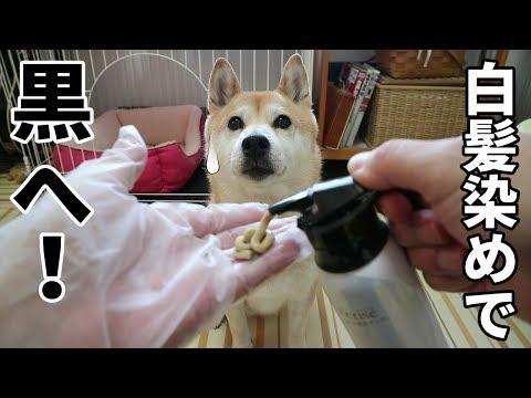 柴犬小春 【実験】柴犬の毛は白髪染めで黒く染まるか試してみた