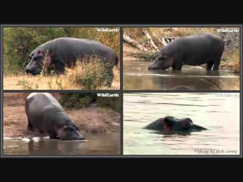Hippo Sounds