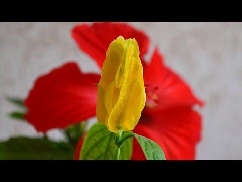 Пахистахис желтый. Видео цветения укорененного черенка желтого пахистахиса