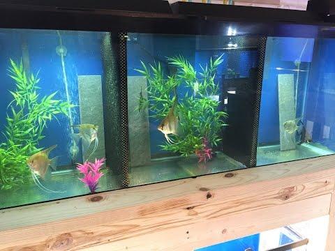 Angelfish Breeding Setup