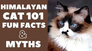 Himalayan Cats 101 : Fun Facts & Myths