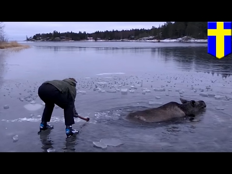 Moose rescued: Ice-skaters smashed ice on frozen lake to rescue moose - TomoNews