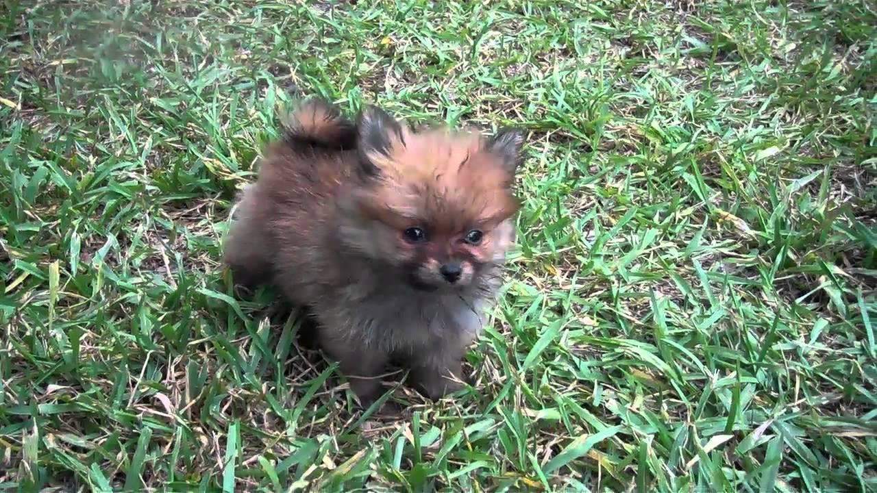 Tiny Teacup Pomeranians From Candy Land Poms Houston Texas Www