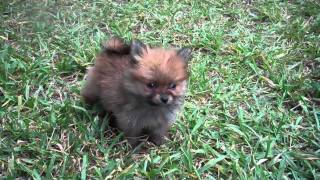 Tiny Teacup Pomeranians From Candy Land Poms Houston Texas  Www.candylandpoms.com