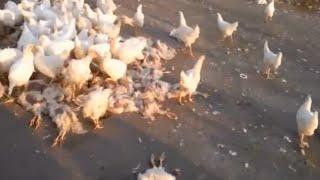 КУРЫ-КАННИБАЛЫ ПОД ЛУГАНСКОМ(Тысячи кур бегают по округе и поедают друг-друга. Артиллерийский обстрел разнес птицефабрику под Луганской..., 2014-09-29T13:15:23.000Z)