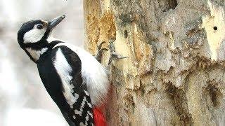Большой пестрый дятел долбит дерево, Woodpecker chisels wood