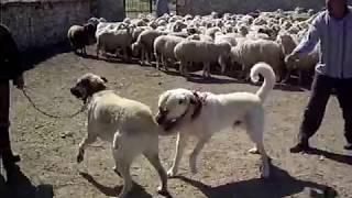 kangal,çoban köpeği,koyunlar