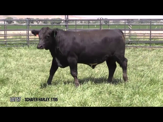 Mid Valley Bull Sale Lot 57