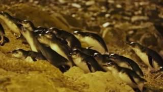 集団でひょこひょこ 世界最小リトル・ブルー・ペンギンの愛らしい帰宅風景 thumbnail