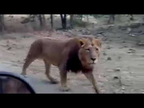 Sasan gir lion on road