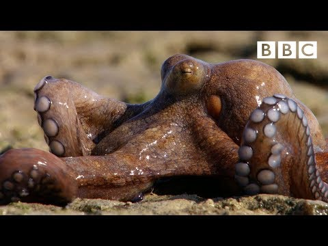 The amazing Octopus that can walk on dry land - The Hunt: Episode 6 Preview - BBC One