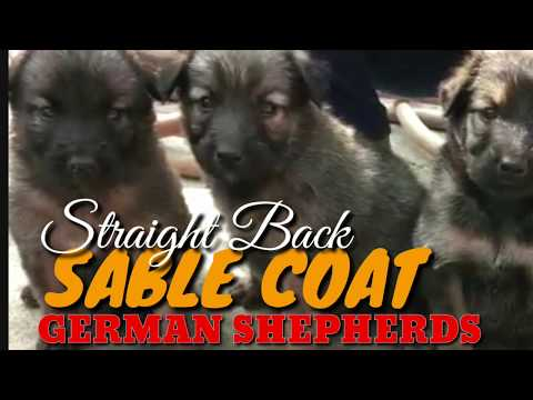 Agouti Or Wolf Gray - Sable Coat German Shepherd Puppies. Sable GSD Puppies For Sale. Rare Coat.