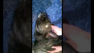Судорожный синдром у собаки