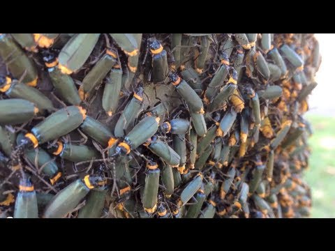 Thousands of Crawling, Swarming Insects - Plague Soldier Beetle, Chauliognathus lugubris