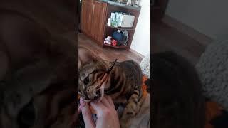 BengyStar Иркутск - бенгальские котята, заводчик Аксютина Ирина