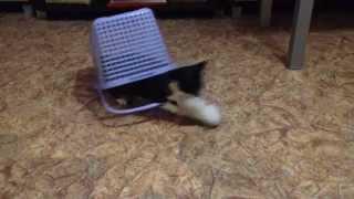 Гиперактивный котенок