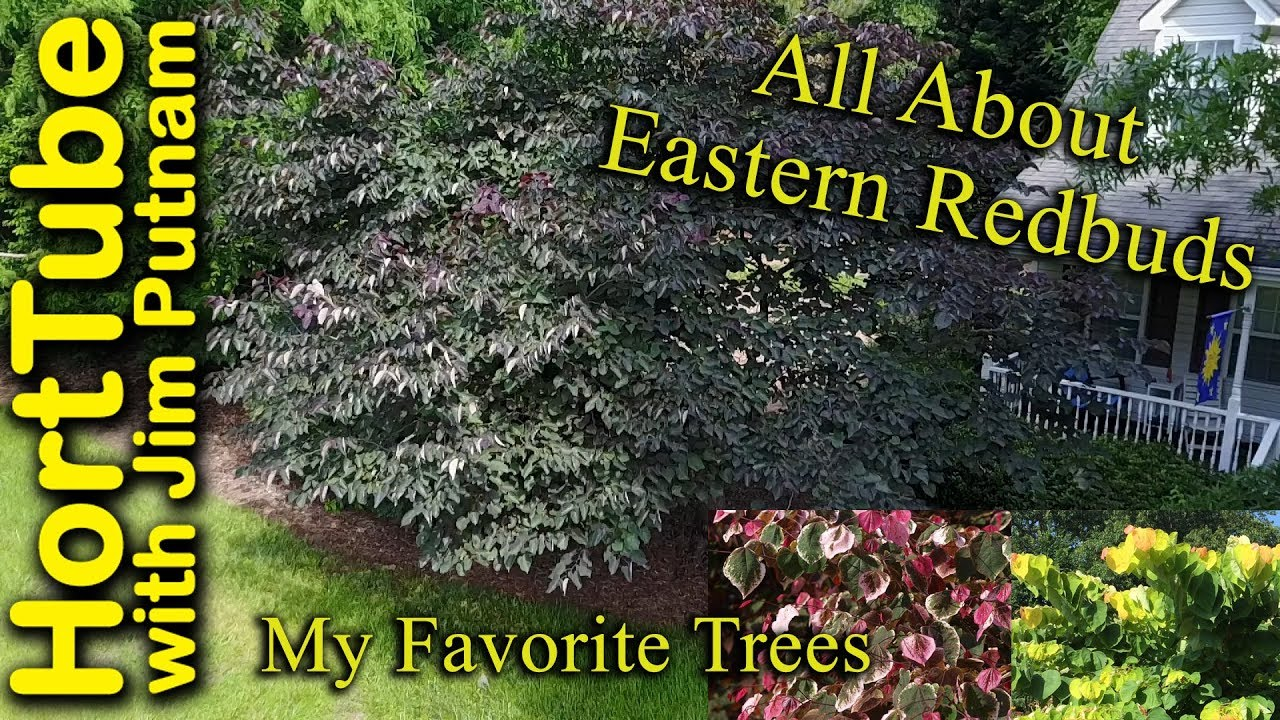 All About Eastern Redbuds My Favorite Trees Youtube