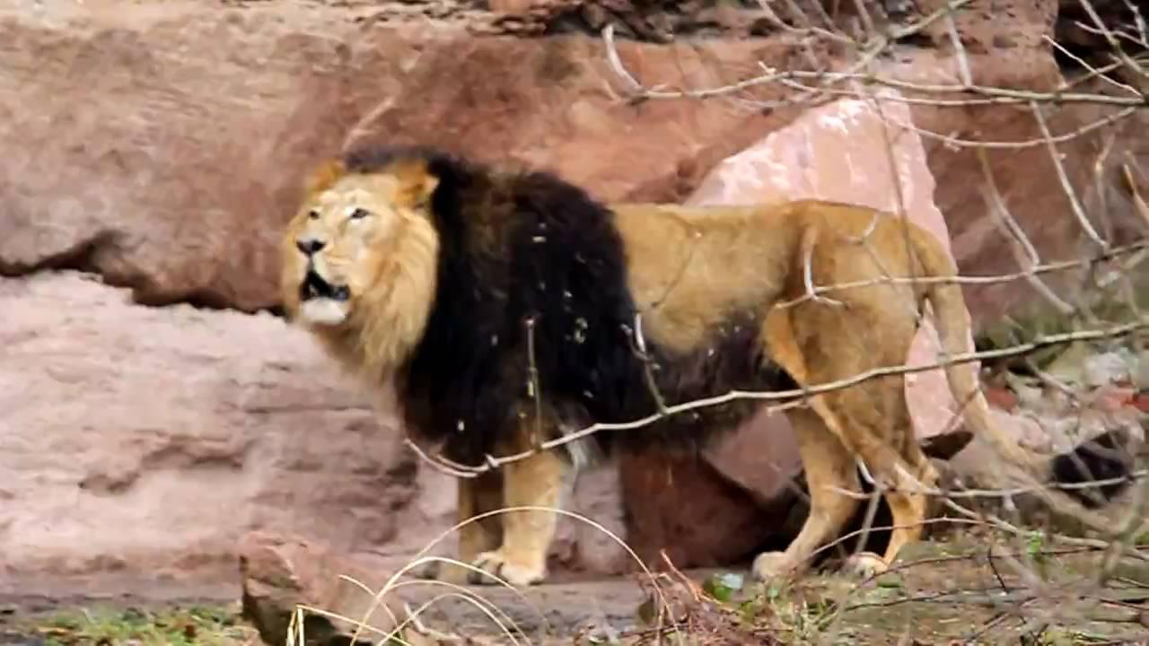 Löwen Sex