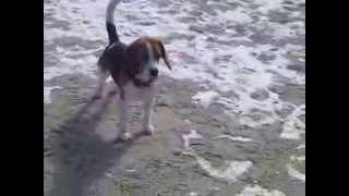 Beagle Bella Candy Von Rekkas Holzhütte Mit Freundin Rhodesian Ridgeback Nurisha Auf Rügen