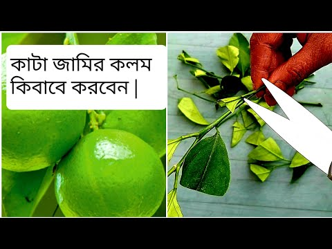 shokher-bagan-2020---how-to-grow-lime-trees-from-clippings-|-easy-way-to-grow-lime-trees-at-home